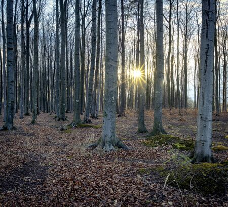 Numbered beech trees with sunrise, Czech Republic