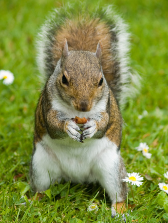 Cute squirrel sourranded by daisies eating a nut in botanic garden