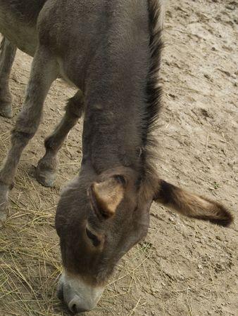 A donkey grazing in a barnyard