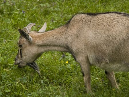 grazer: A goat grazing on the field in spring