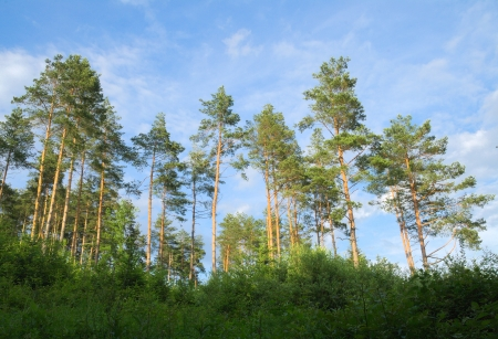 Pine forest in the summer photo