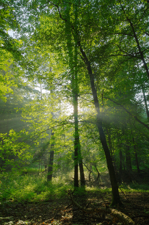 Beauty forest with sunrays in the morning photo