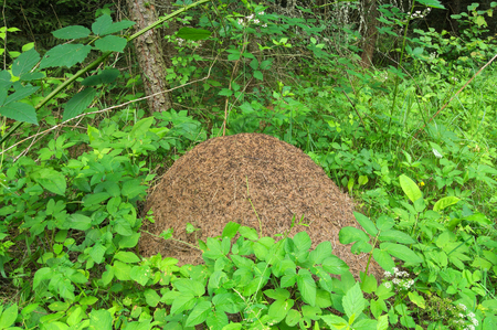 pismire: Huge anthill in the forest