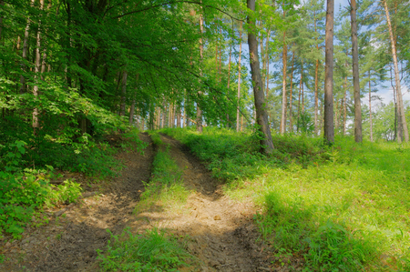 Forest muddy path with green photo