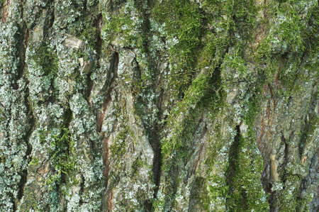 willow tree: Bark wood texture background