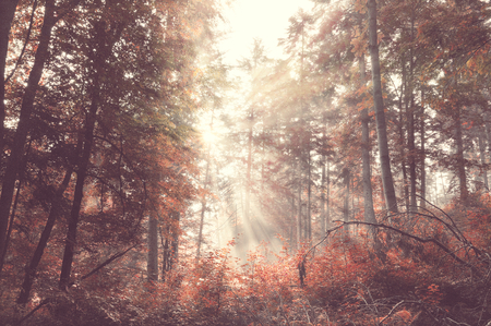 Vintage beauty autumn forest with sunrays in the morning photo