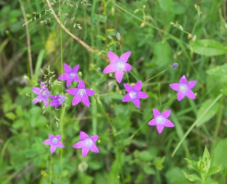 patula: Campanula patula bellflower on the meadow