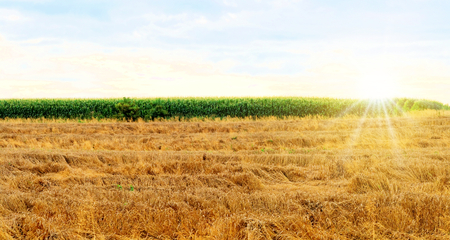 Wheat fields and corn n the summer photo