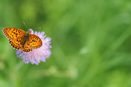 Brenthis ino orange butterfly summer meadow photo