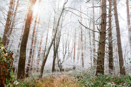 frosty morning: Winter pines forest landscape with frost trees Stock Photo