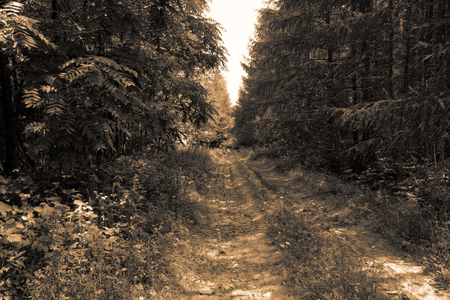 gold road: Vintage muddy trace on the forest road in the summer sepia toning gold filter