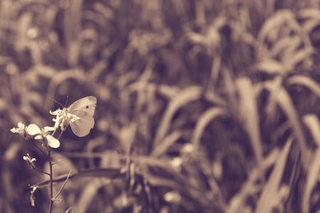 entomological: Pieris rapae butterfly in the field summer meadow