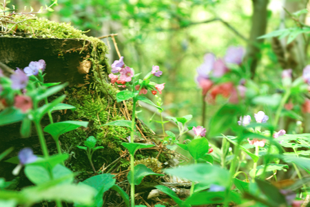 obscura: Pulmonaria obscura wild flowers in the forest springtime Stock Photo
