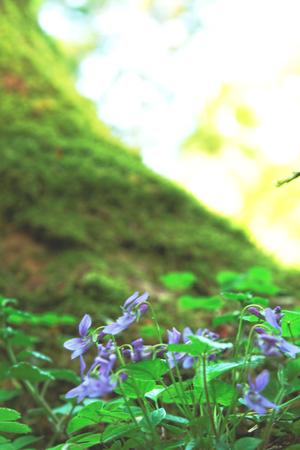 hepatica: Hepatica nobilis Mill wild flowers in the forest springtime