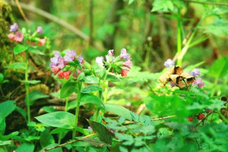 pulmonaria: Pulmonaria obscura wild flowers in the forest springtime Stock Photo