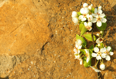 oldschool: Oldschool vintage style cherry and pear branches flowers blossom in the springtime with brown grunge stone