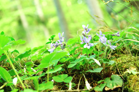 obscura: Hepatica nobilis Mill wild flowers in the forest springtime