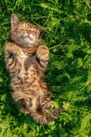 Young brown red striped cat playing in the grass in the garden