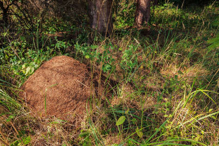 Ant hill in the old nature forest Stock Photo