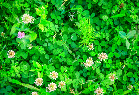 Beauty clover flowers at the spring meadow