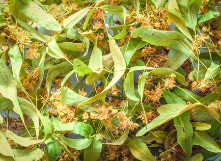 linden blossom: Linden blossom herb dry flowers tilia background