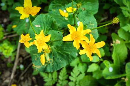 Caltha palustris yellow flowers in the spring woodland background