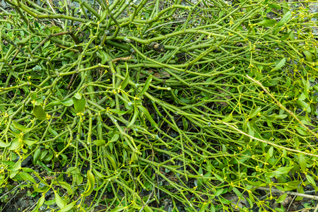 Mistletoe green plant with berries background Stock Photo