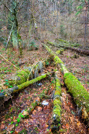 Forest landscape with old broken mossy trees