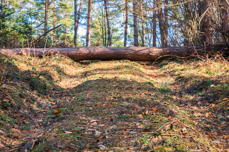 Beautiful forest landscape with old road and broken pine tree falling across