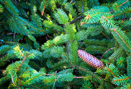Spruce green background with brown cone