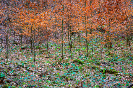 Beech trees with red leaves landscape, young forest nursery Stock Photo