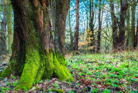 Old nature mossy magical wood trunk in the forest green ecology landscape Stock Photo