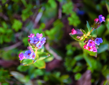 Pulmonaria obscura wild flowers growing in the forest in the first days of srpingtime