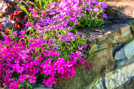 Colorful pink red yellow rockery flowers and stones the garden Stock Photo