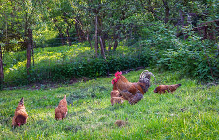 Chicken farm ecology with many birds and free eco run pasture