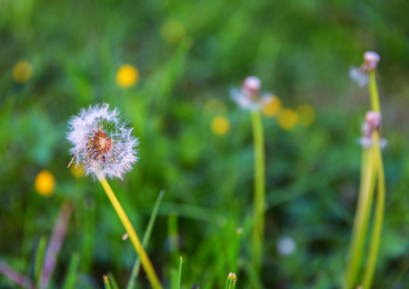 Dandelion flowers with seeds growing in the grass
