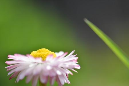 chamomile flowers closeup. Intention selective focus