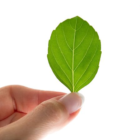 deter: Womans hand holding the Basilia leaf Stock Photo