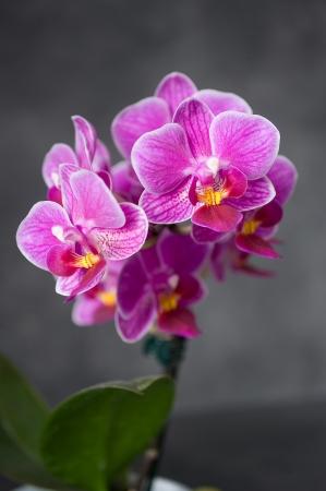 orchidea: orchidea