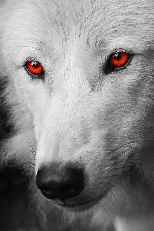 wolf head: white wolf