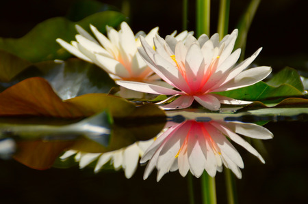 waterlily with reflection in water