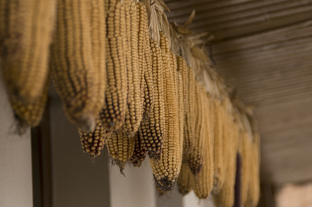 suspended maize Standard-Bild