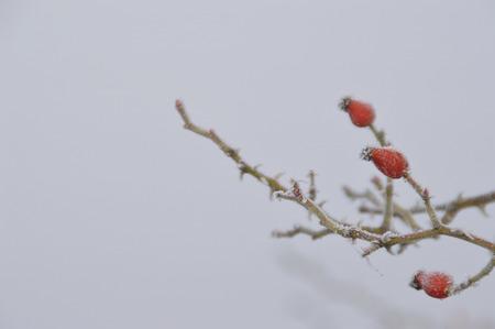 Rosehip in winter Standard-Bild