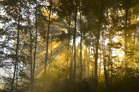 sunbeams through trees in fog