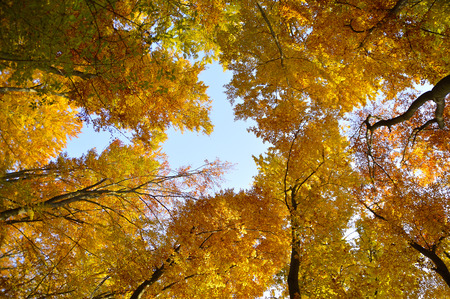 Treetops from the bottom in the autumn