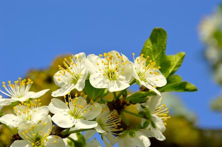 white plum blossoms in spring Standard-Bild
