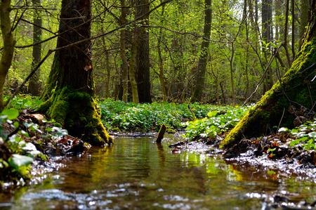 Small stream in alder forest Standard-Bild
