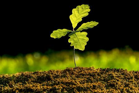 Kleine Eichenpflanze im Garten. Baum Eichenpflanzung im Bodensubstrat. Sämlinge oder Pflanzen, die vom Seitenlicht beleuchtet werden. Hoch beleuchtete Eichenblätter mit dunklem Hintergrund und grünem Gras.