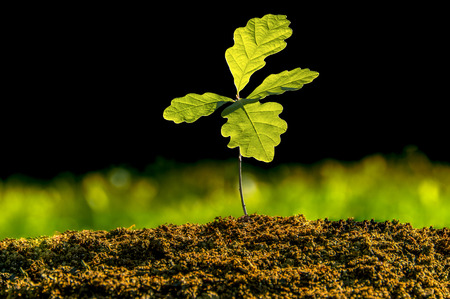 Pequeña planta de roble en el jardín. Plantación de árboles de roble en el sustrato del suelo. Plántulas o plantas iluminadas por la luz lateral. Hojas de roble muy iluminadas con fondo oscuro y pasto verde.