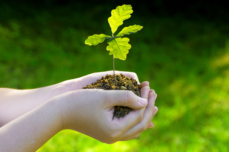 Small oak tree in her hands. Seedlings illuminated by side light. Green background Standard-Bild